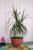 Драцена - комнатное растение