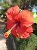 Как заставить гибискус цвести