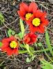 Цветок спараксис: посадка и уход