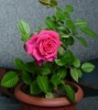 Роза альпийская