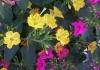 Ночная красавица — мирабилис и его выращивание