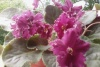 Перевалка цветущей фиалки