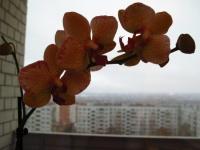 Орхидея - простые правила по уходу