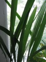 Пересадка сеянцев финиковой пальмы