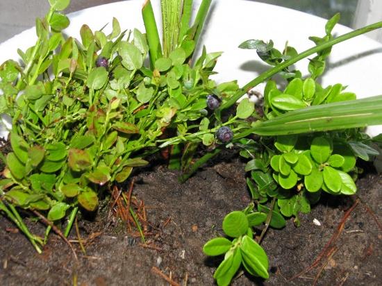Как в домашних условиях выращивать чернику