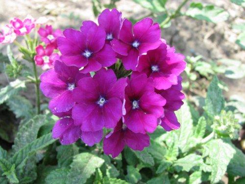 Цветок вербена: выращивание , Вербена ...: tipsplants.ru/plant-blog/16/04/12/tsvetok-verbena-vyrashchivanie