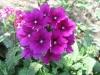 Цветок вербена: выращивание