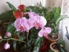    (Phalaenopsis)