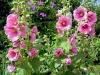 Мальва или шток роза — выращивание возле дома