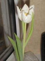 Выращивание тюльпанов в квартире
