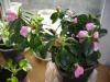 Завяли цветы у азалии