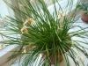 Ограничиваем полив зефирантеса зимой
