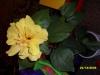 Моя любимая китайская роза.