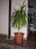 Драцена - моя домашняя пальма