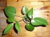 Как вырастить шеффлеру из семян?
