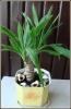 Комнатные пальмы: осторожно с поливом!