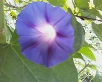 Синие цветы ипомеи украшают дом