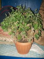 Хризантема - горький личный опыт!!!