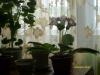 Стимулируем цветение глоксинии