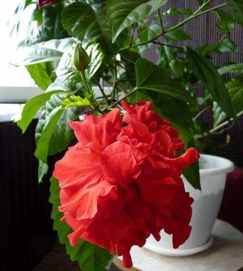 Китайский роза как ухаживать за ней в домашних условиях 497