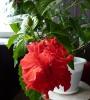 Цветение китайской розы