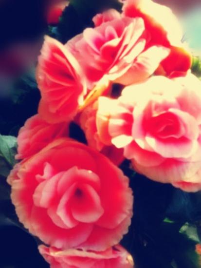 Изысканная бегония - красота в цвете