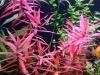 Аммания - яркое растение для аквариума