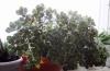 Аихризон. Дерево любви