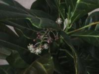 Кротон цветет!