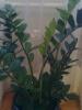 Замиокулькас  неприхотлив, но любит тепло и влагу.