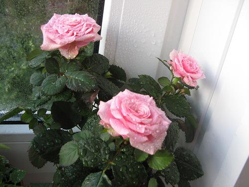 Черенкование комнатной розы