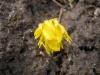 Эрантис - новый цветок в моём цветнике.