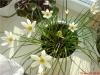 Цветок Зефира