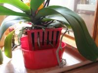 Правильный полив орхидеи