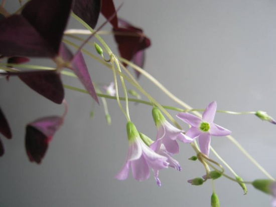 Оксалис :  цветок-бабочка.