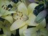 Мои прекрасные лилии