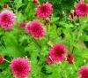 Выращивание хризантемы: посадка, уход и фото цветка