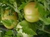 Сорта помидоров на фото