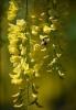 Цветущие кустарники: будлея и бобовник - посадка и уход