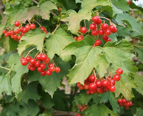Как сажать калину: выращивание и уход за кустами