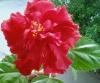 Как пересаживать крупное растение?