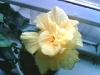 Цветок прекрасных женщин