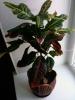 Кротон в роли офисного растения