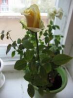 Выращивание бордюрной розы в комнатных условиях