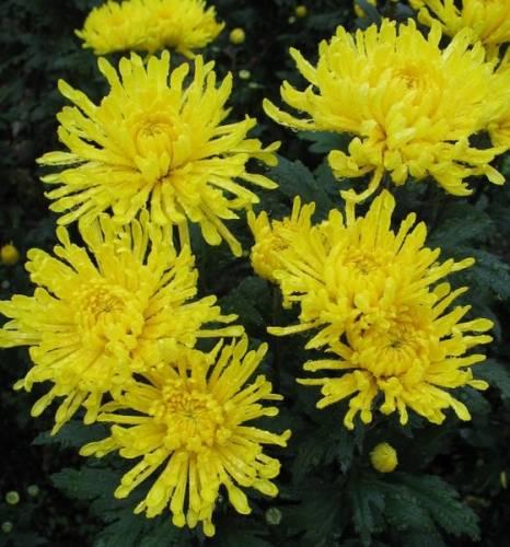 Пересаживаю хризантемы ежегодно но