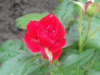 Прекрасный цветок роза.