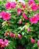 Гибискус садовый на фото