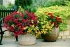 Выращивание герани (пеларгонии) в саду