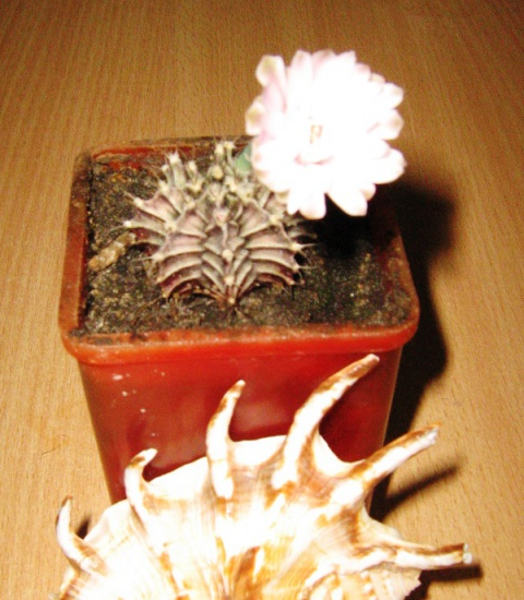 Как сделать чтобы кактус цвёл