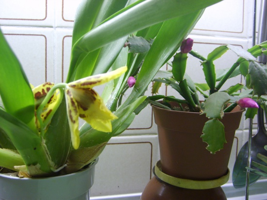 уход за орхидеей в горшках в домашних условиях